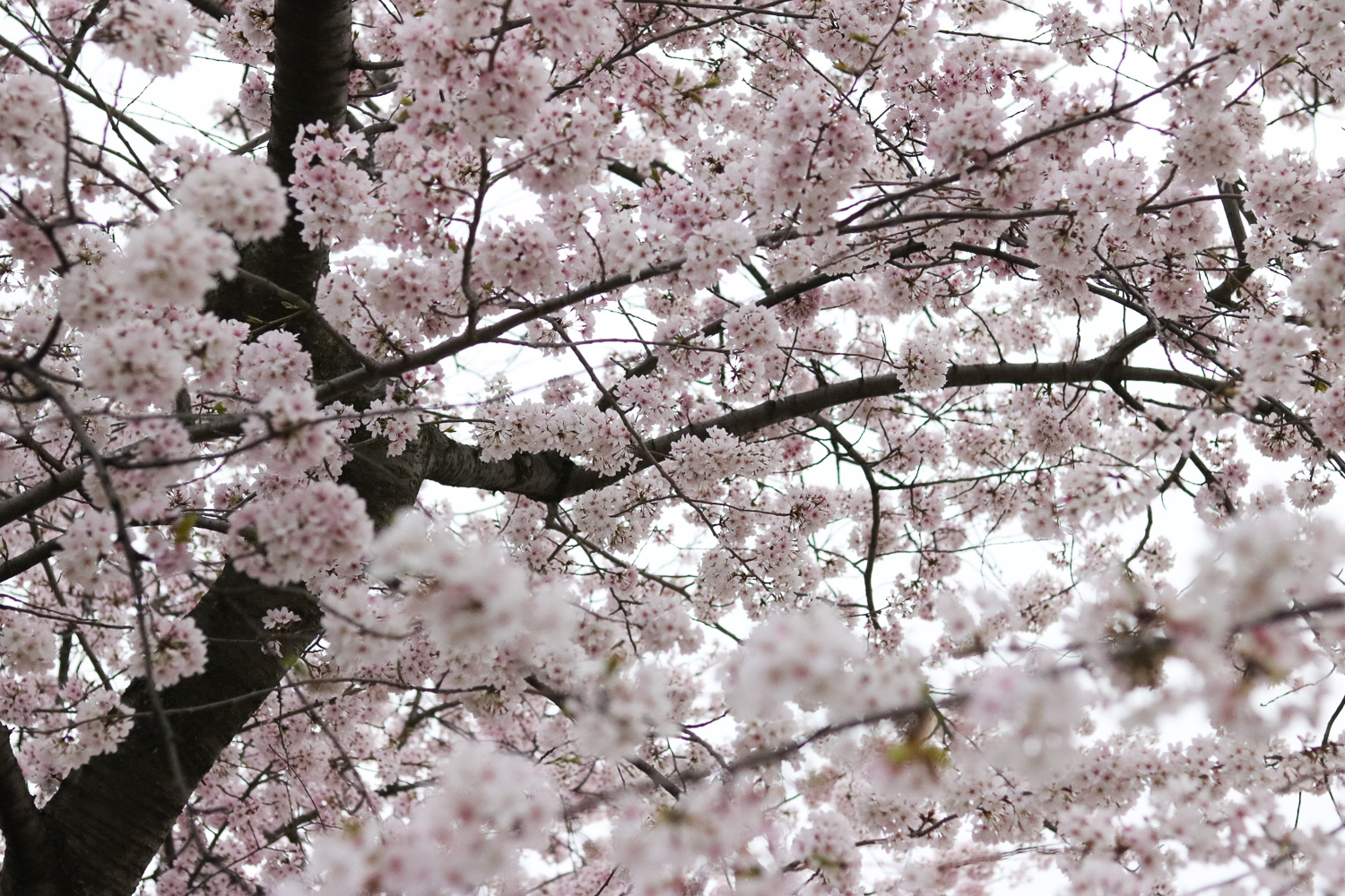 Week In Review - Cherry Blossoms - Washington, D.C. @cobaltchronicle