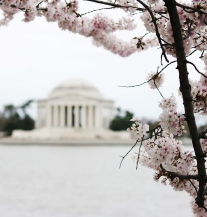 Week In Review - Cherry Blossoms @cobaltchronicle